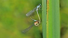 Blue-tailed Damselfly mating (jaytee27) Tags: bluetaileddamselflymating naturethroughthelens