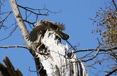 two-headed kestrel (Falco tinnunculus)...? (willjatkins) Tags: raptor raptors kestrel birdofprey falco falcotinnunculus hemelhempstead britishbirds ukwildlife birdsinthenest ukbirds fledgingbirds hertfordshirebirds britishbirdsofprey birdatnest hertfordshirewildlife birdsatnest nikond7100 hemelhempsteadbirds hemelhempsteadwildlife birdsleavingnest