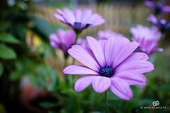 Kapkrbchen (piri198) Tags: flowers canon eos purple blumen lila lightroom osteospermum 22mm efm eosm kapkrbchen eosm3 lightroom6