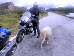 The sheep are very curious. (topzdk) Tags: norway mc motorcycle honda bmw 2016 summer austagder vestagder nature
