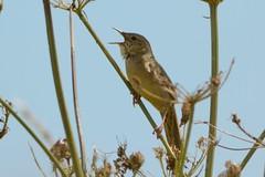 Not Skulking. (stonefaction) Tags: grasshopper warbler angus scotland birds nature wildlife