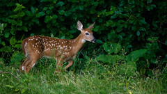 YoungOne (jmishefske) Tags: d800e greenfield wildlife buck whitetail westallis nikon wisconsin county july park 2016 fawn deer milwaukee