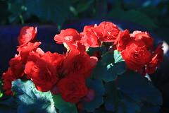 begonia (garden beth) Tags: flowers gardens deep indiana mysterious begonias redandgreen