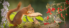 togethers moment (Geert Weggen) Tags: geert weggen hardeko mammal rodent squirrel nature animal red perennial closeup cute plant moss funny happy summer ground spring bright light autumn mushroom toadstool fall flower berry bird tit titmouse ilobsterit