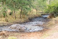 Lake Mburo National Park (MadGrin) Tags: africa hippopotamus ippopotamo orientale uganda repubblica travel viaggio westernregion uga