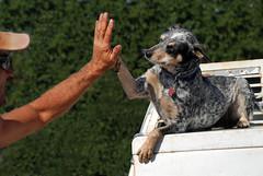 Heeler High Five (Storm_Front) Tags: infocus oneface longshot highquality heeler dog highfive canine