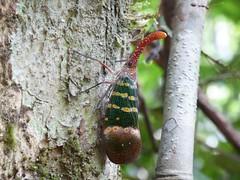 Khao Sok NP (Jungle Trek), Thailand (Jan-2016) 18-087 (MistyTree Adventures) Tags: insect thailand seasia outdoor jungle panasoniclumix lanternbug khaosoknp