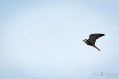 Another hawk pic (Cloudtail the Snow Leopard) Tags: falke zoo amneville tier animal vogel bird hawk flug fliegen fly
