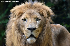 African lion - Dierenpark Amersfoort (Mandenno photography) Tags: animal animals african lion lions dieren amersfoort dierentuin leeuw dierenpark leeuwen