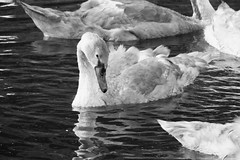 summer evening swans 03 (byronv2) Tags: kirkintilloch canal forthclydecanal marina glasgow scotland wildlife nature bird birds swan swans cygnet summer sunlight sunny sunshine blackwhite blackandwhite bw monochrome water