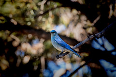 Baby Blue (Scosanf) Tags: mountains bird nature canon eos colorado wildlife naturallight rockymountains vignette ef2470mmf28lusm sanjuanmountains 6d topazlabs
