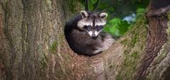 Raccoon (Ian Thorp) Tags: cute omnivore raccoon racoon germany deutschland animal animals nature garden oak wildlife mammal nrw juvenile nikond7200 nikonafs30028gvrii animalplanet