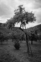 Marillen tree (Antti Tassberg) Tags: travel blackandwhite bw tree monochrome austria apricot ladder puu spitz niedersterreich wachau marillen tikapuut aprikoosi