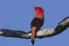 Cardinal on Branch (Binfocus) Tags: birds cardinal
