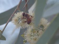 Honeybee on eucalyptus (EllenJo) Tags: pentaxqs1 pentax july27 2016 ellenjo ellenjoroberts