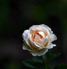 Petite rose blanche (valerierodriguez1) Tags: fleur rose blanc white flower summer t spring printemps canon eos 7d nature