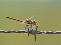 Bruinrode heidelibel vrouw