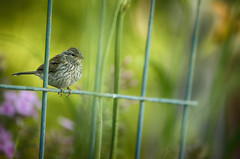 A Quiet Moment (flashfix) Tags: july292016 2016 2016inphotos nikond7000 nikon ottawa ontario canada 55mm300mm animal finch bird nature mothernature garden fence lines housefinch perched bokeh portrait