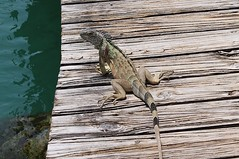 (S.Hence :-) Germany) Tags: caymans grandcayman hell echse leguan lizard natur nature urlaub vacation karibik caribbean juni june 2016 hitze heis heat summer sommer iguana