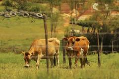 Couple in law (HSOBERON) Tags: campo canon canon70d cow endor endorinc field guarne hernansoberon hsoberon nature norebos soberon vacas