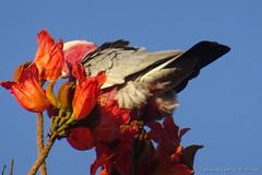 Galah  (Roseate Cockatoo)  on the flowering Tulip tree (Tatters ) Tags: australia bird flowers tuliptree spathodeacampanulata wal galah cockatoo