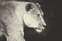 Be bold (bkiwik) Tags: lioness lion africa cat bigcat canon eos6d digital monochrome eyes powerful power