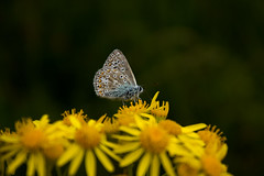 Butterfly (Shutter Chimp: Im back!) Tags: butterfly   flower insect   england