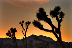 Evening,  Joshua Tree National Park, Calif. USA (klauslang99) Tags: arid ca cacti cactus california desert joshuatree joshuatreenationaldesert nationalpark naturalworld northamerica plants purple scenic silhouette sky tree unitedstates unitedstatesofamerica us usa wildernessarea nobody panoramic parkland mojavedesert coloradodesert rocks yuccabrevifolia eveing dusk klauslang