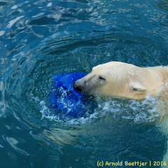 ijsberen_23 (Arnold Beettjer) Tags: wildlands emmen dierenpark dierentuin dierenparkemmen ijsbeer ijsberen polarbear