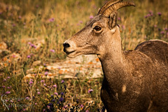 Bighorn Sheep in Glacier National Park, MT - 20150802CRN (Christopher Neel Photography) Tags: bighorn sheep wildlife fauna montana glacier national park many nature outdoors hiking adventure christopher neel photography fine art stoic horns flowers summer animals