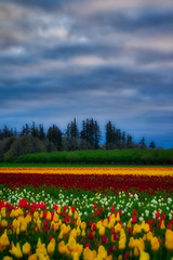 Soft Morning (ahockley) Tags: flowers oregon plants tulipfestival tulips woodburn woodenshoetulipfestival