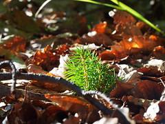 fresh green (michaelmueller410) Tags: harz wald eipenke osterodeamharz olympusepl5 fichte tanne setzling laub baum bumchen grn braun