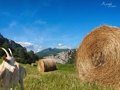 being nosy :) (Wilma van Oorschot) Tags: wilmavanoorschot olympusem5 olympusomde5 olympusm1250mmf3563 mzuikodigitaled1250mm13563 vercors goat hay landscape mountains france meadow strawbales straw nature outdoor