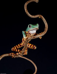 Super tiger leg tree frog