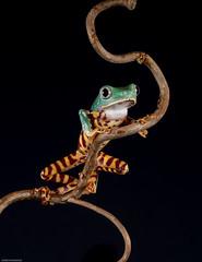 Super tiger leg tree frog (susie2778) Tags: captivelight captive studio flash frog olympus omdem5mii 60mmmacrof28 supertigertreefrog