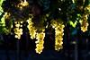 Vendemmia 2016 (Luca Maresca) Tags: 2016 campagna laviteeilvino tendoni uva vendemmia vite natura frutta pianta albero fiore allaperto tendone graopes canon eos400d