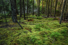 Sylvan Blanket (Brian Truono Photography) Tags: acadia hdr highdynamicrange maine nps nationalpark nationalparkservice explore exposureblending forest green grow landscape moss mossy natural nature pine plush saplings sunlight trees trunks woods tremont unitedstates us