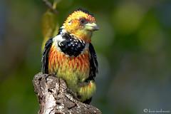 Crested Barbet (leendert3) Tags: crestedbarbet ngc npc sunrays5 coth5