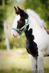 Gypsy Vanner Foal (KajsaDahl) Tags: equine equinephotographer equinephotography white sweden swedish irishcob tinker tree star nature cute gypsy gypsyvanner gypsyvannerhorse gypsyhorse summer light nikond700 nikon portrait horse focus love colors foal cozy forest pinto paint animal adorable shiregrden spring shire space dahl details face filly beautiful green happy whitehorse kajsadahl kajsa landscape vanner black mare mother