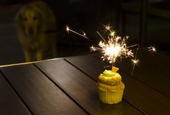 Birthday Cupcake (photographyguy) Tags: denver colorado cupcake dessert goldenretriever dbar restaurant table golden dog canine sparkler party birthday uptowndenver night nighttime birthdayparty rood keylime outsidedining