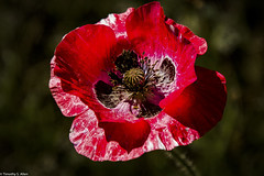 Red Poppy (allentimothy1947) Tags: lutherburbankgardens bees bugs flowers insects marcro ringlight