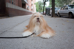 upper west side (Charley Lhasa) Tags: ricohgrii grii 183mm 28mm35mmequivalent iso400 secatf28 0ev aperturepriority pattern noflash r009644 dng uncropped taken160920181413 uploaded160924142058 3stars flagged adobelightroomcc20157 lightroomcc20157 adobelightroom lightroom charley charleylhasa lhasaapso dog walk sidewalk rest upperwestside uws manhattan newyorkcity nyc newyork ny tumblr160924 httpstmblrcozpjiby2cxulib