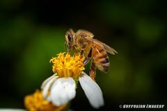 09-20-2015_17.07.11--D700-45-device-2000-wm (iSuffusion) Tags: d700 tampa tokina100mm28macro bees florida insects macro nikon gibsonton unitedstates us