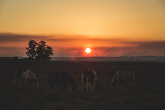Cold and windy evening. (Pablin79) Tags: sky landscape fog sunset winter cold nature sun light outdoor animals tree grass silhouette colors evening horse shadows dawn outdoors dusk backlit afternoon argentina silhouettes mammal goldenhour misiones cavalry posadas