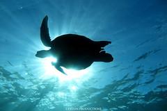 IMG_0126 copy (Aaron Lynton) Tags: lyntonproductions scuba diving snorkel underwater maui hawaii onebreath turtle honu hawaiiangreenseaturtle hawaiian greenseaturtle seaturtle canon g1x