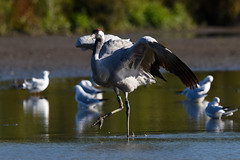 Crane (Bill Richmond) Tags: crane grusgrus common slimbridge reintroduced colourringed large nikond810 nikon500f4 freeflying wild