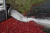 Cranberry Harvest 2016 (brucetopher) Tags: cranberry cranberries bog berry berries red float harvest fruit fall autumn unique unusual specialized water pond farming newengland