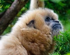 DSC_1327 ts (Photos by Kathy) Tags: cincinnatizoo animals zoo zoos nature kathymoore nikon2000 primate gibbon white h