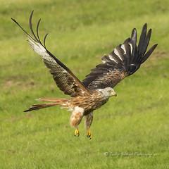 Red Kite (pixellesley) Tags: redkite bird mammal animal birdwatching flying feeding soaring wingspan lesleygooding wild wildlife milvusmilvus
