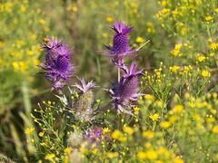 Leavenworth eryngo (Kay Martinez) Tags: leavenwortheryngo wildflower kansas cowleycounty winfield purpleflower summer